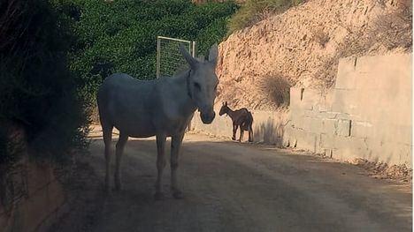 Un burro y una cabra, deambulando por Librilla desorientados
