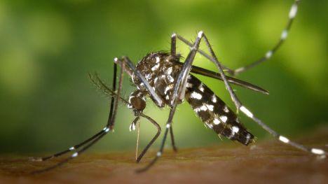 El Ayuntamiento solicita a la CHS que actúe contra el mosquito tigre