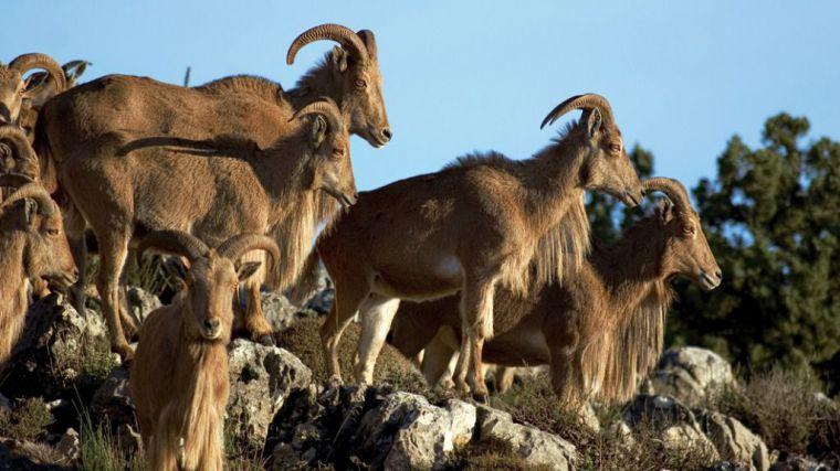 El Gobierno regional fijará las condiciones para cazar arruís