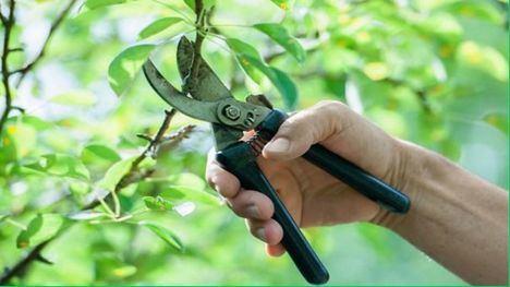 Ofertan un curso de 'Inicio a la poda de árboles frutales'