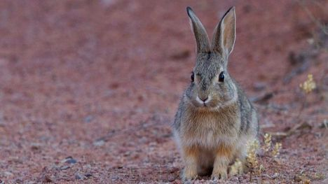 La veda del conejo se mantiene en Alhama hasta otoño de 2020