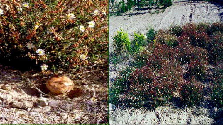 Agricultura amplía el estudio de la trufa del desierto al Guadalentín