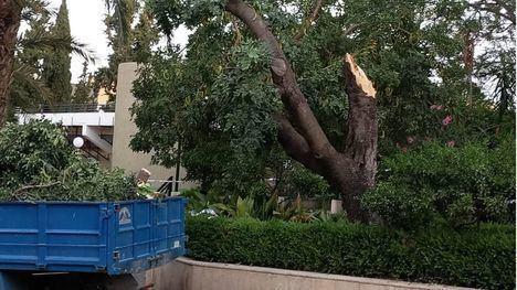 FOTOS Tala parcial del algarrobo de La Cubana del que cayeron ramas