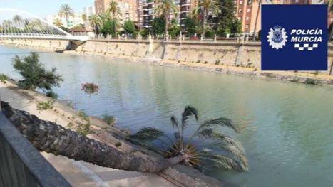 Un pequeño tornado tumba una palmera en el río Segura en Murcia