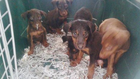 Abandonan a siete cachorros en Librilla en menos de 48 horas