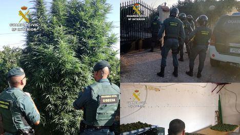 VÍD./FOT. Desmantelan una 'huertica' de marihuana en Totana
