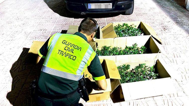 Drogado y con medio millar de plantones de marihuana en Totana