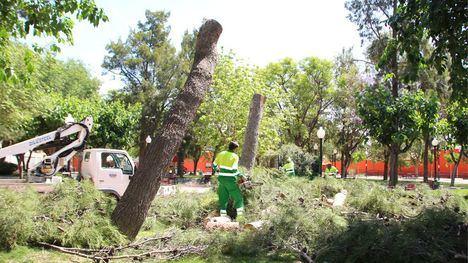 Las lluvias obligan a talar dos pinos en el jardín de San Cristóbal