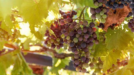 Absueltos tres agricultores de cultivar una uva protegida