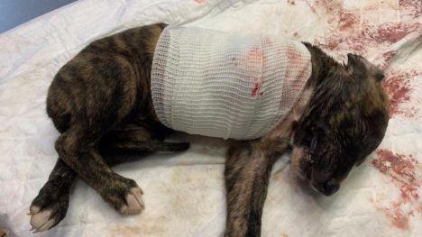 Abandonan en Alhama a un cachorro de galgo con una pata amputada
