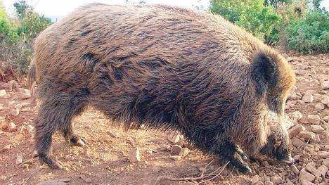 La Región prohíbe el movimiento de jabalíes por la peste porcina