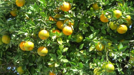 Agricultura pide controlar las cochinillas en cultivos de cítricos