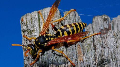 Crecen un 20% las alergias graves a avispas y abejas