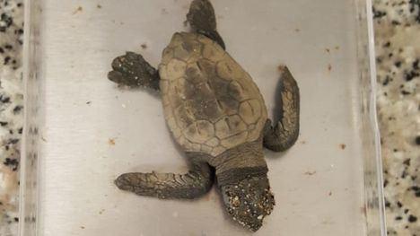 Localizada una cría de tortuga boba en una cala de Calnegre