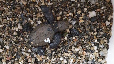 Rescatan cuatro crías de tortuga boba en un nido en Calnegre
