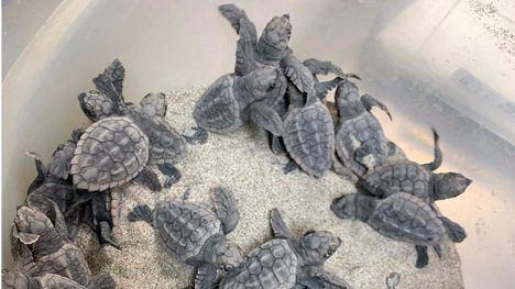Nacen 40 crías de tortuga boba del nido localizado en La Manga