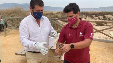 Devuelven a su hábitat en Alhama un ejemplar de cernícalo primilla