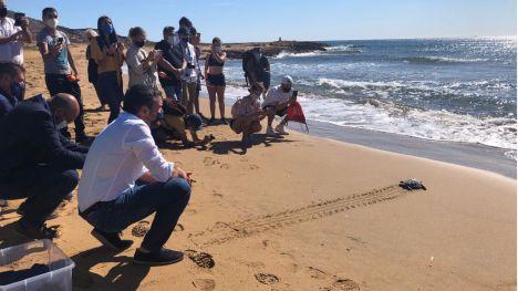 Devuelven al mar 10 de las tortugas bobas nacidas en Calblanque