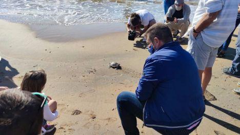 Liberan 11 tortugas boba nacidas en 2019 en Calblanque