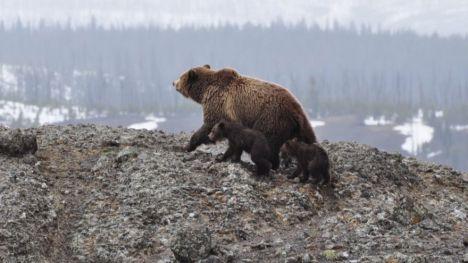 Introducirán en Sierra Espuña osos pardos de Cantabria