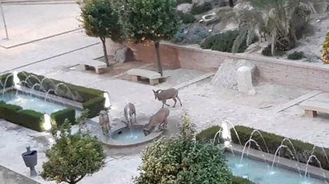 VÍDEO Cabras y arruis, visitantes del Museo de Los Baños